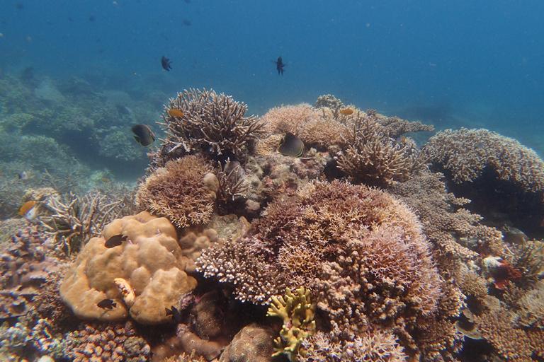 Tingloy-corals-%C2%A9-Joal-Ascalon-SEA-Institue-VIP