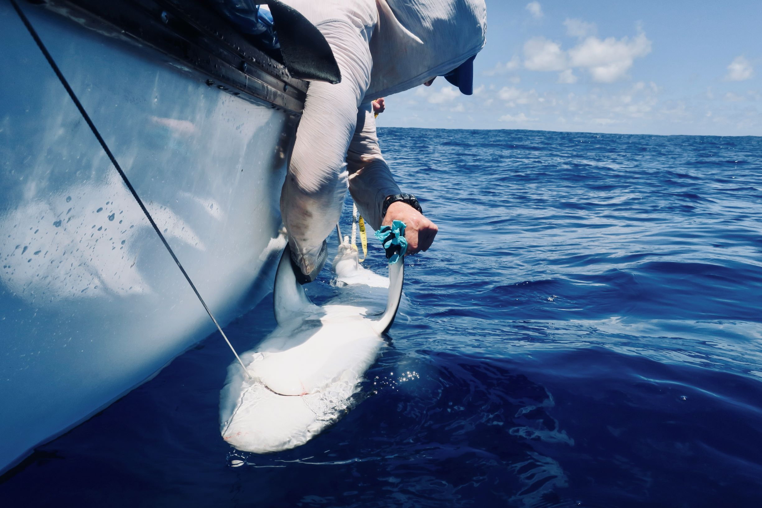 ZSL researchers release a silvertip shark in the British Indian Ocean Territory (BIOT) after fitting it with an acoustic tag. Advances in electronic tagging may help reduce illegal fishing in protected areas by remotely detecting fishing events as they happen.