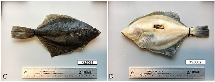 Dorsal and ventral views of a female Baltic flounder, from the western Gulf of Finland. The species, identified as distinct from the European flounder, was just described in 2018. Image is Figure 6 of its species description by Momigliano and colleagues (2018).