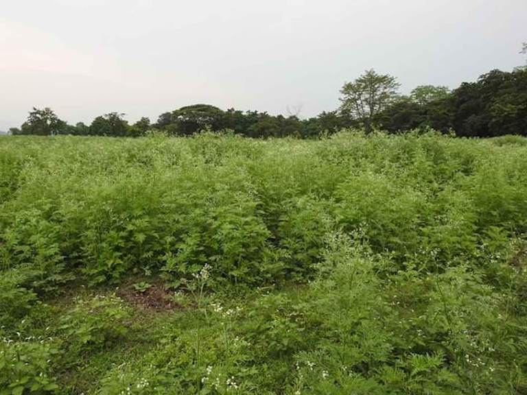 Parthenium can be seen growing vigorously in the grassland areas inside Pobitora National Park. Conservationists are worried the invasive weed will crowd out native fodder plants. Photo credit: Bibhab Talukdar