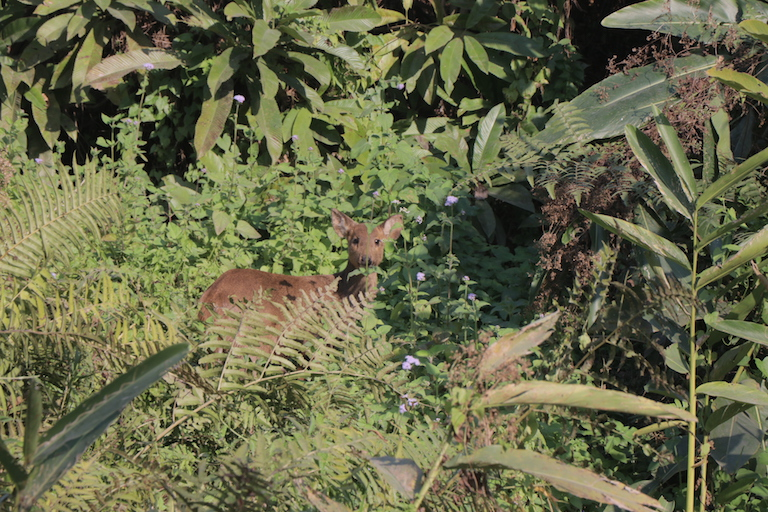 An Indian muntjac, also called barking deer, is seen grazing in an area inside Orang National Park where Chromolaena has started to infest. Photo credit: Bikash Kumar Bhattacharya