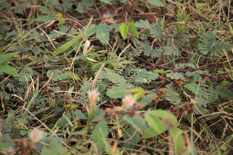 Mimosa plants in Orang National Park. The plant is believed to be responsible for a decline in the park's wet alluvial grassland. Photo credit: Bikash Kumar Bhattacharya