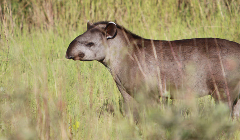 A juvenile Brazilian tapir (Tapirus terrestris) in the Pantanal. Tapirs have been found to disperse seeds in disturbed Amazon forests. Photo by Rhett A. Butler.