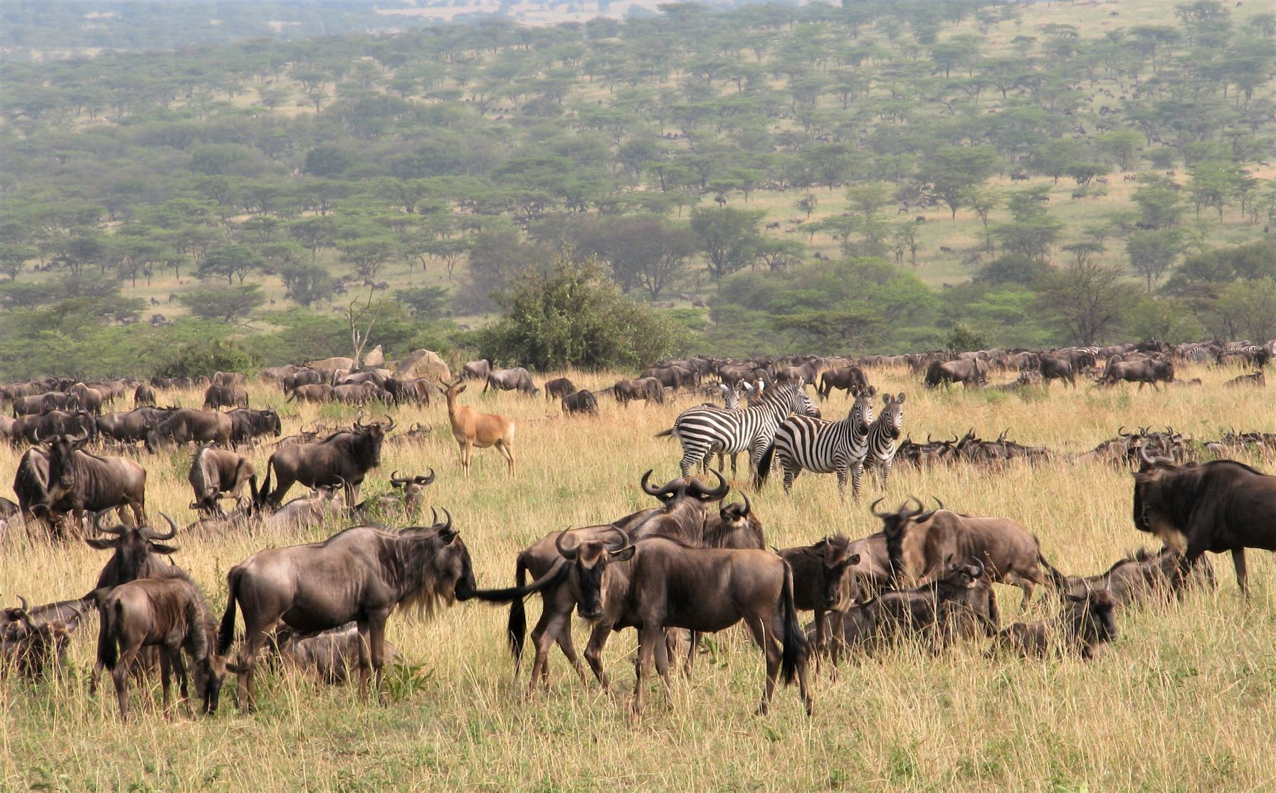 Hundreds of thousands of wildebeest (), plus tens of thousands of common zebra and other grazing antelope migrate seasonally across Serengeti National Park in Tanzania to find fresh grasses.