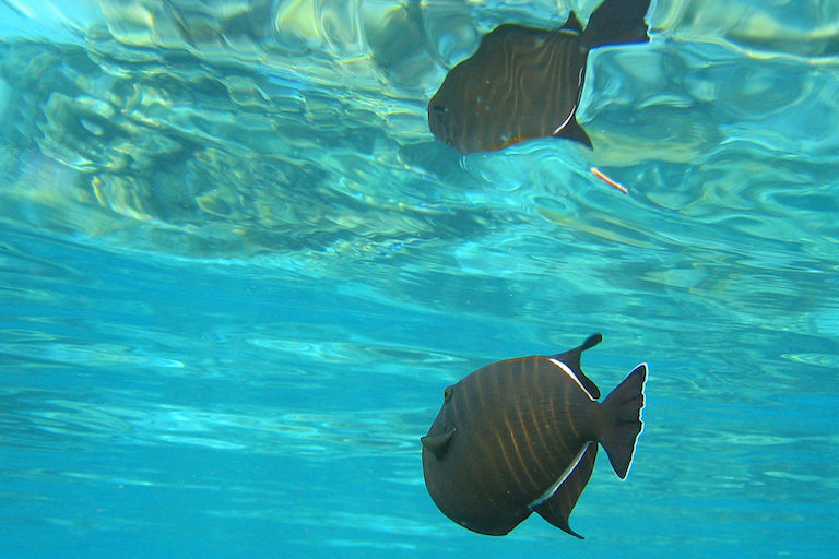 A black triggerfish (Melichthys niger), one of the most abundant fish species in Ascension Island's waters (Photographed here in the Maldives). Image by Jan Derk via Wikimedia Commons.