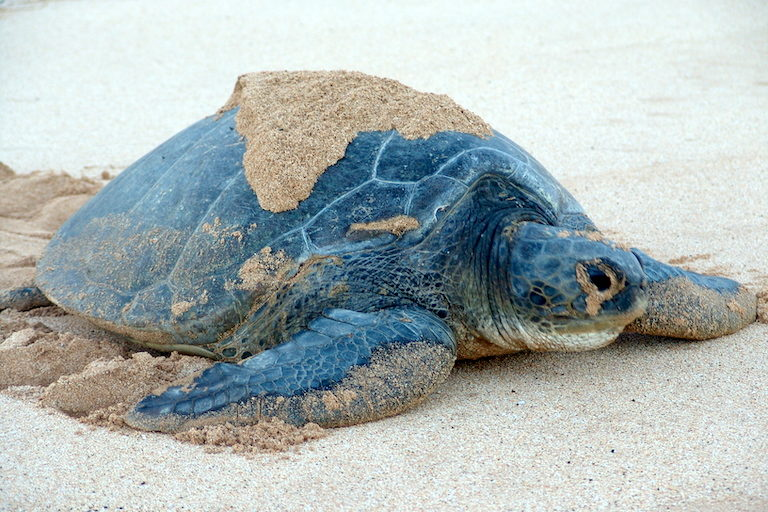A female green turtle (Chelonia mydas) nesting on one of Ascension Island's beaches. The island is home to the second-largest population of green turtles in the Atlantic. Image by Drew Avery.