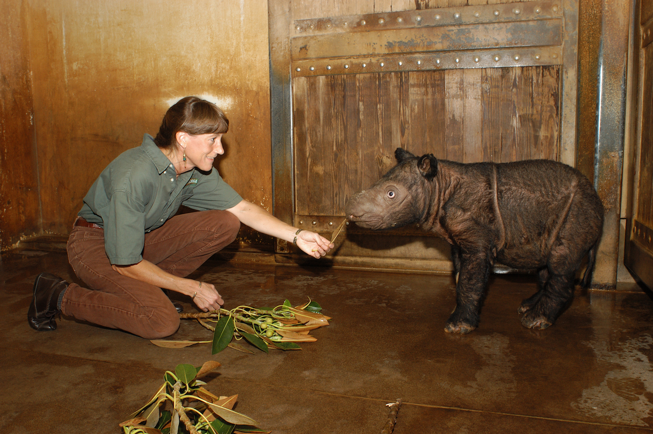 Better than sex? For hard-to-breed rhinos, technology strives for a