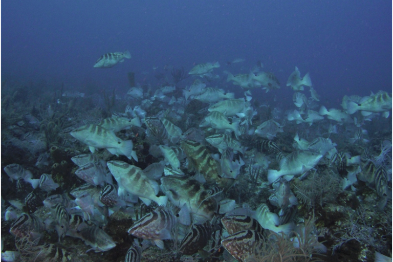 Fishery on the brink: The fight to save the Nassau grouper