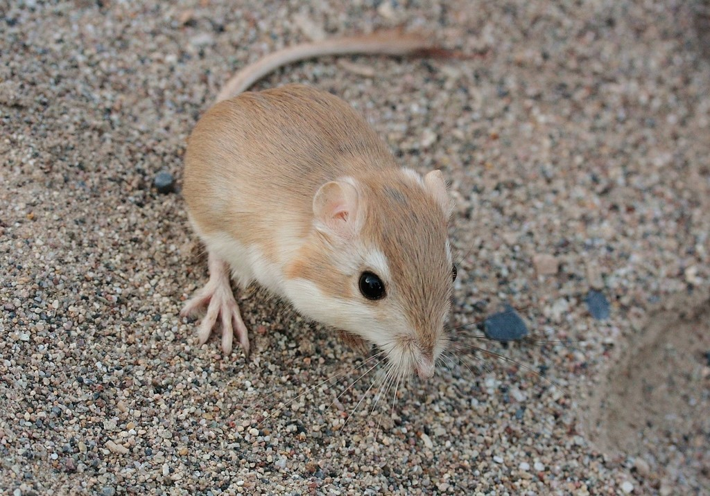 The seed-eating desert kangaroo rat in a quiet daytime moment. Its exceptional hearing, long tail, and long, powerful legs all contribute to its ability to survive surprise attacks by ambush predators such as rattlesnakes.