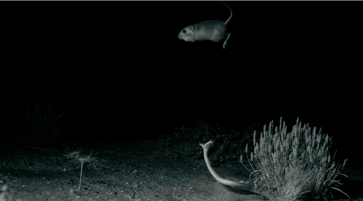 Those kicks were fast as lightning: Kangaroo rats evade deadly snake