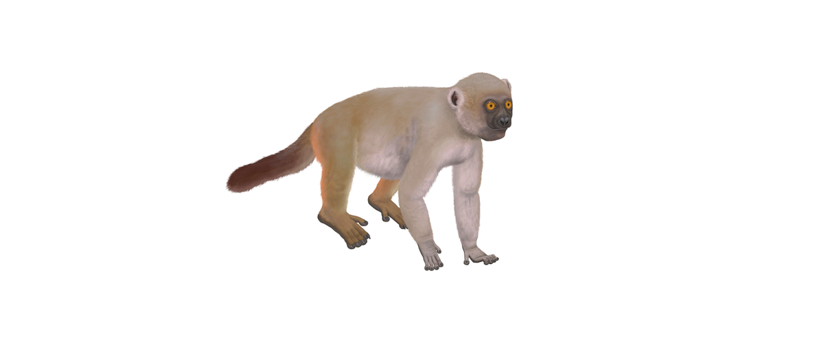 A life restoration of Hadropithecus stenognathus, an extinct species of lemur, based on fossil evidence. H. stenognathus is thought to have weighed between 27 and 35 kilograms (60 and 77 pounds), more than three times the size of the largest living species of lemur, the indri (Indri indri). Image by Smokeybjb via Wikimedia Commons (CC BY-SA 3.0).