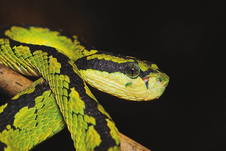 Sri Lanka Green Pit Viper