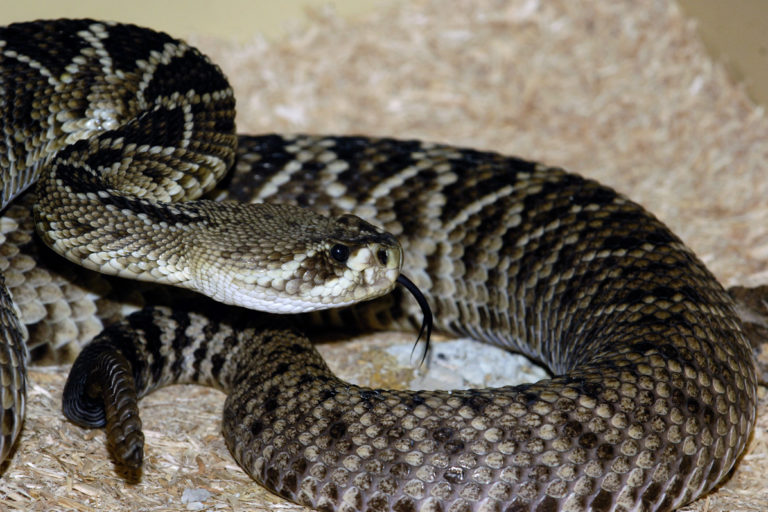 Eastern Diamondback Rattlesnake (Crotalus adamanteus). Found in the southeast US, this is the largest venomous snake in North America. Photo by Julie Larsen Maher.