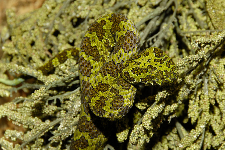 Mangshan Pit Viper (Protobothrops mangshanensis). This newly-described large pit viper is found in the mountains of Hunan, China at high elevations. It is one of the few viper species that lays eggs. Photo by Julie Larsen Maher.
