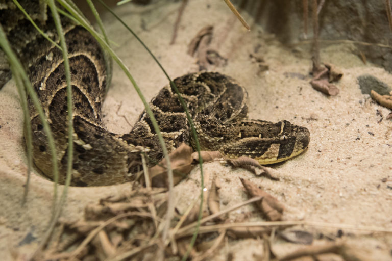 Puff Adder (Bitis arietans). This notorious African viper is often found in close proximity to humans. This leads to this snake having the dubious distinction of inflicting the most venomous snake bites of any species in South Africa. Photo by Julie Larsen Maher.