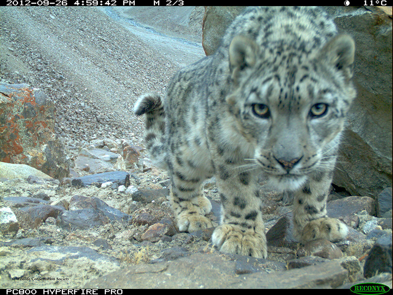 Camera trap picture of a snow leopard in Lower Wakhan-Badakhshan. Photo credit WCS