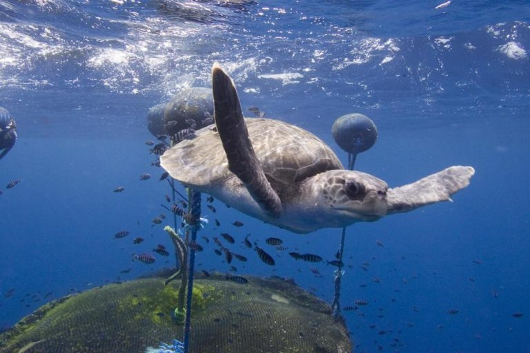 A loggerhead turtle swims around a fish aggregation device belonging to the Ecuadorean fishing vessel Ingalapagos. Greenpeace says it documented the vessel in the vicinity of the northern Galapagos Islands. Image by © Alex Hofford / Greenpeace.
