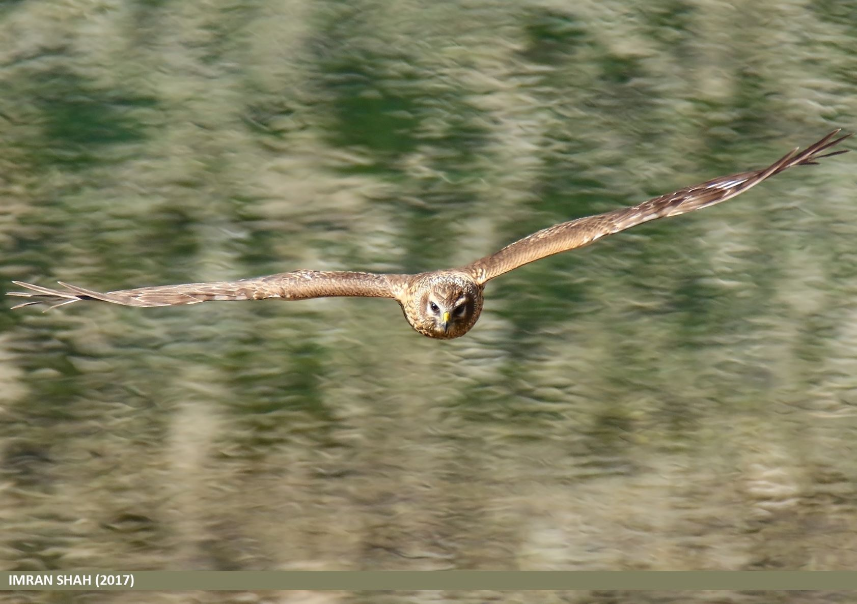 A hen harrier (Circus cyaneus) soars over the landscape.
