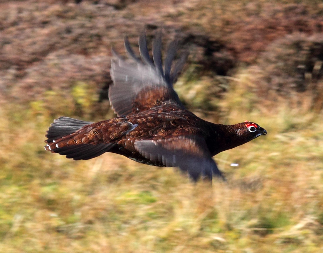 Red grouse (Lagopus lagopus scotica) such as this one are hunted by both hen harriers and people. Gamekeepers and hunters kill harriers and other non-human predators of grouse to bolster numbers for recreational hunting.