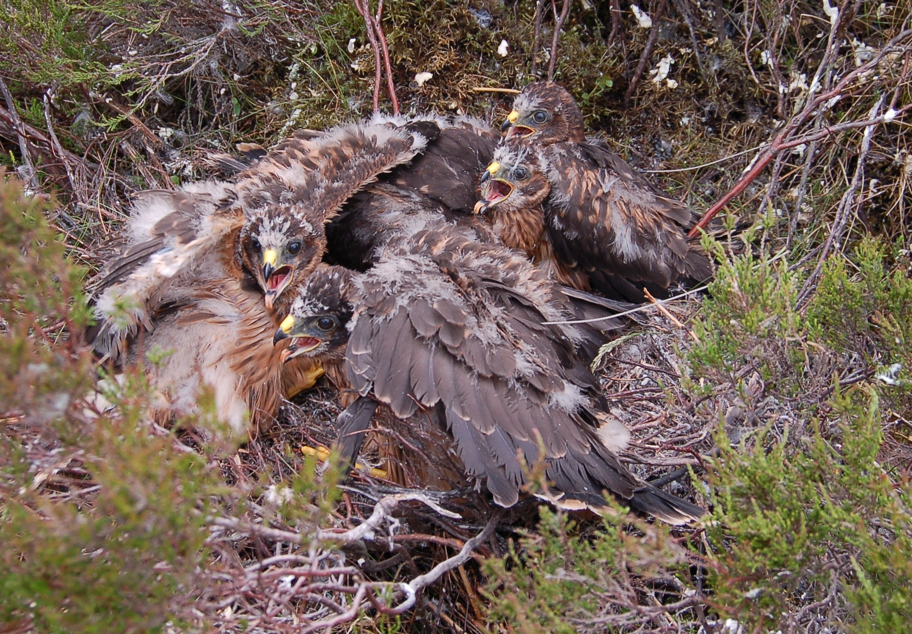 Solving the mystery of the UK's vanishing hen harriers
