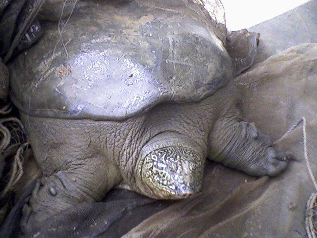 Image result for yangtze turtle dies
