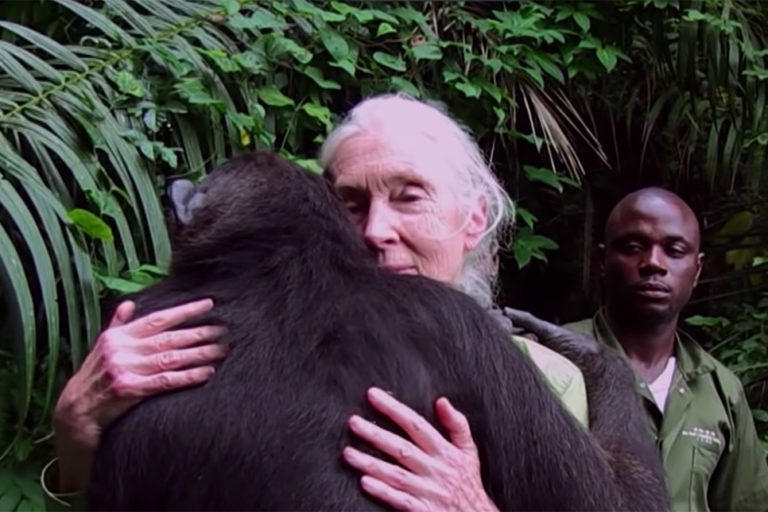 Screen capture of Jane Goodall with Wounda, a female chimp.