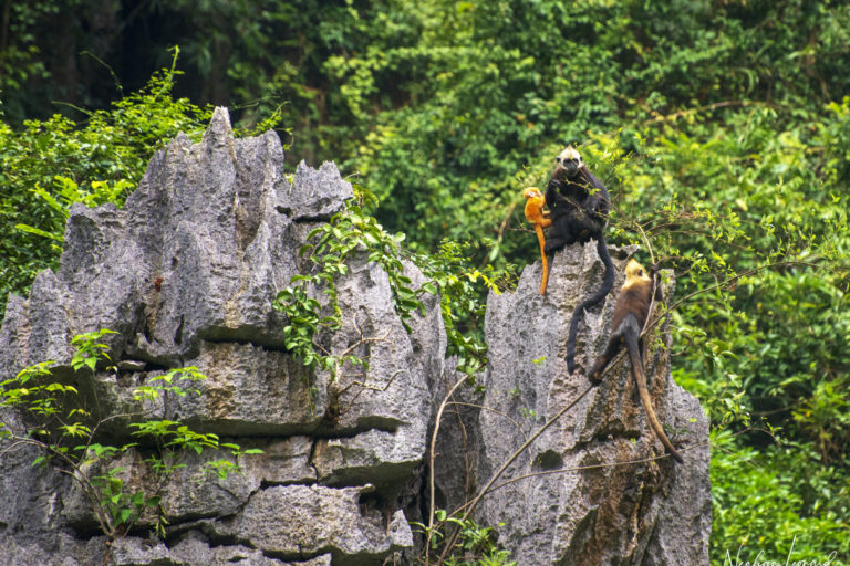 The youngest Cat Ba langur, which was recorded last week, sits with its mother atop a limestone tower, while a juvenile langur climbs nearby. Photo by Neahga Leonard for the Cat Ba Langur Conservation Project.