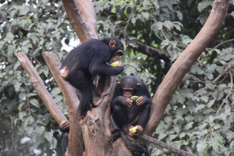 Western Chimpanzees at Tacugama Chimp Sanctuary in Freetown, Sierra Leone. Photo by BigMikeSndTech, licensed under CC by 2.0