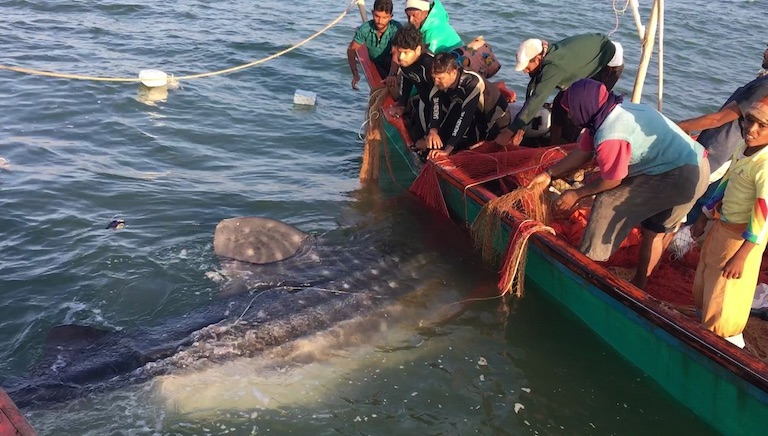 Fishers disentangle a whale shark accidentally caught in a fishing net. Image courtesy of Wildlife Trust of India.