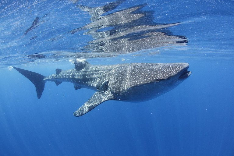 A whale shark in Mexico. Image by MarAlliance2018 via Wikimedia Commons (CC BY-SA 4.0).