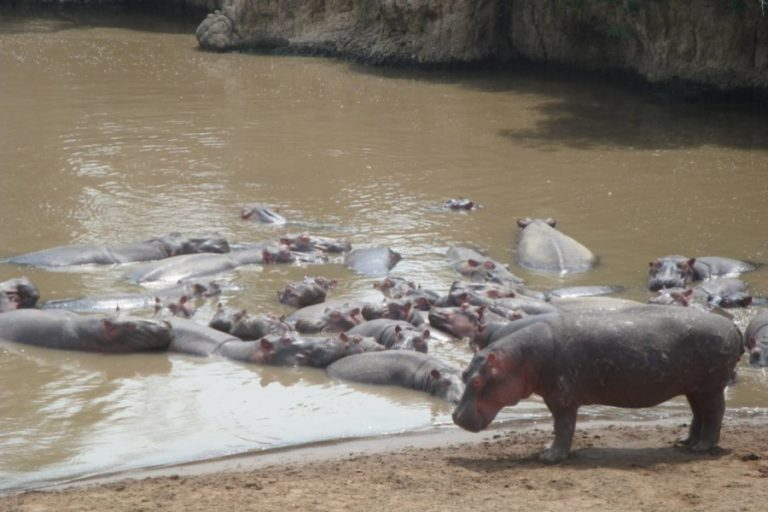 Hippos poop a lot of silica, and that's critical for