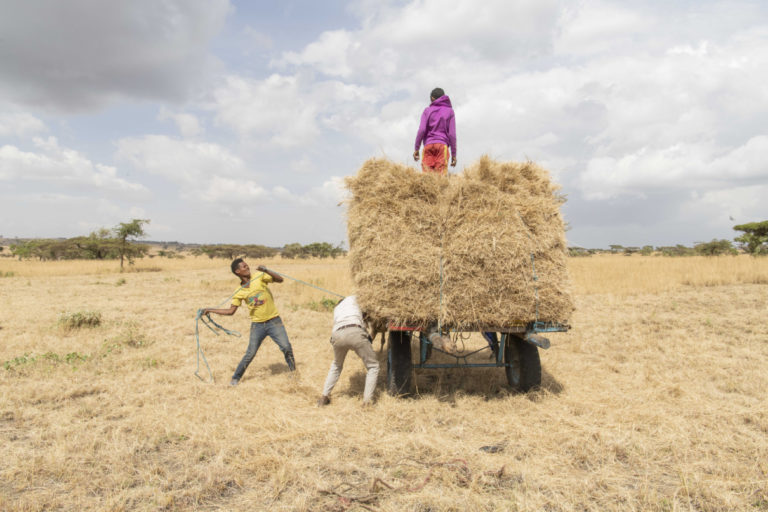 Farmers pile straw on horse wagons. Local people either use or sell the dried grass in the sanctuary. Photo by Maheder Haileselassie Tadese.
