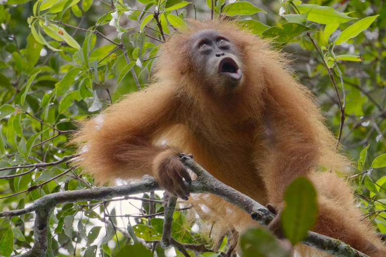 Video: Documentary on world's rarest ape generates film festival buzz