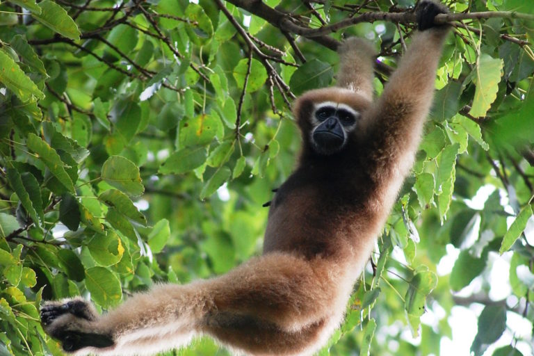 There's still room to save Asia's hoolock gibbons, study says, but only just