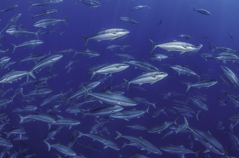 Fish school in Chile's Desaventuradas Islands. Image by Eduardo Sorensen / Oceana Chile.