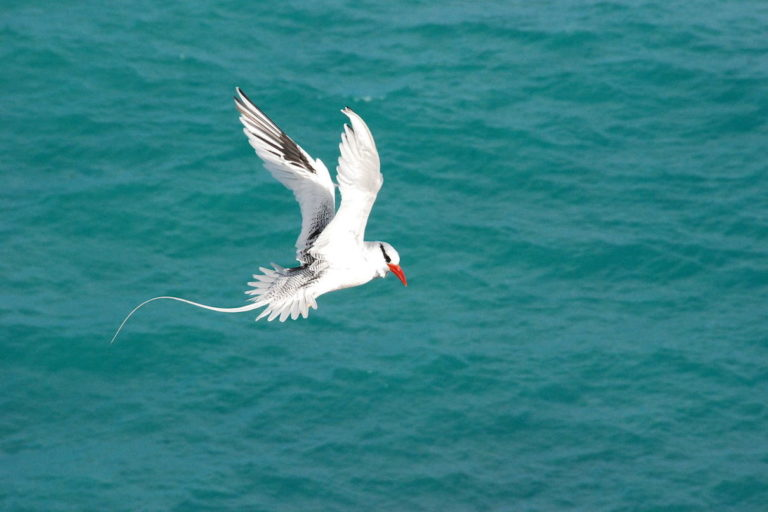 Red-billed tropicbird (Phaeton aethereus) at Abrolhos Marine National Park. Image by Mia Morete via Wikimedia Commons (CC BY-SA 3.0).