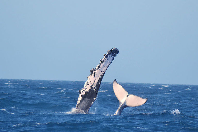 A humpback whale (Megaptera novaeangliae) in Abrolhos Marine National Park off the state of Bahia, Brazil. Image by Renatomachion via Wikimedia Commons (CC BY-SA 3.0).