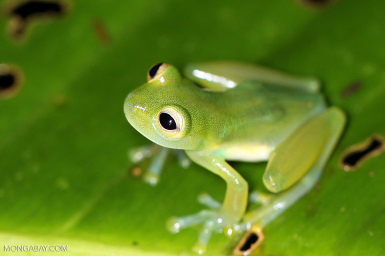 Glass frog in Costa Rica. Photo by Rhett A. Butler.