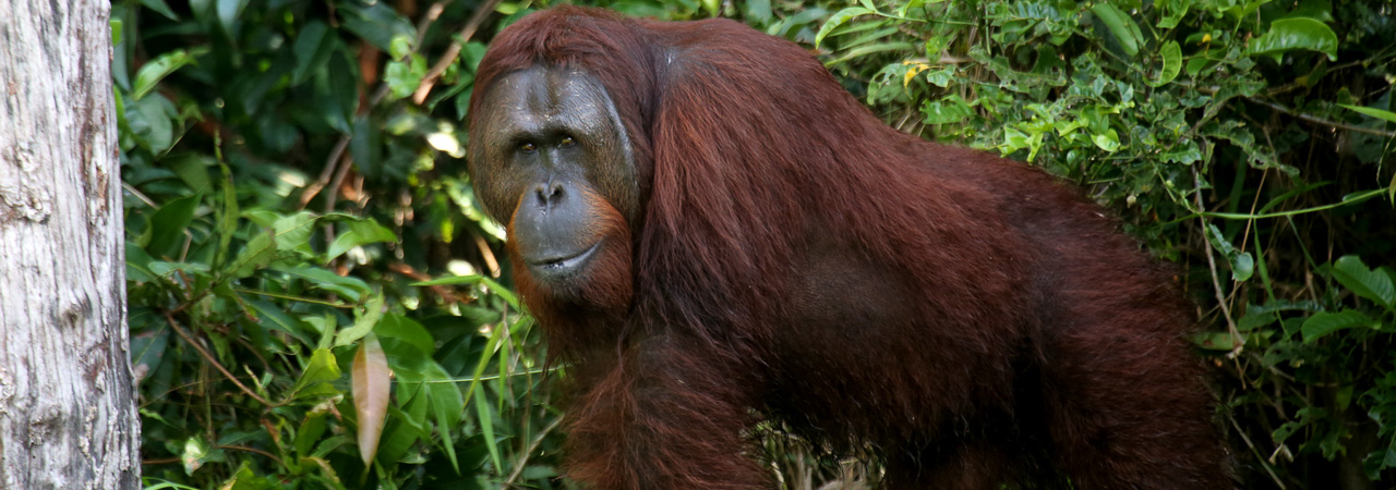 Out on a limb: Unlikely collaboration boosts orangutans in