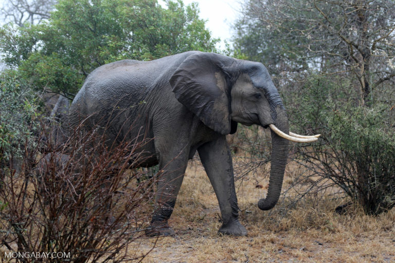 An elephant in South Africa. Photo by Rhett A. Butler/Mongabay.
