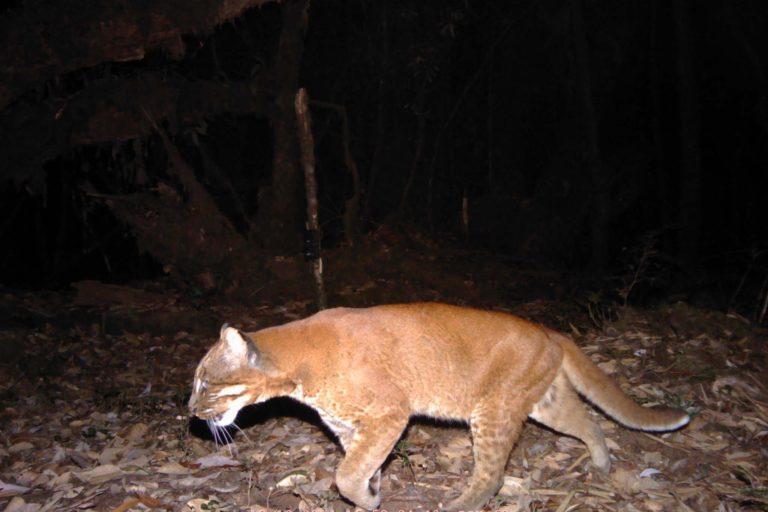 Golden-morph-of-the-Asiatic-golden-cat-c-ZSL