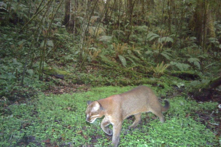 Image result for Asian Golden Cat cinnamon