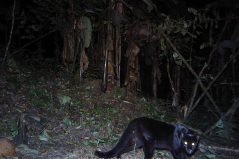 Melanistic-form-of-the-Asiatic-golden-cat-c-ZSL