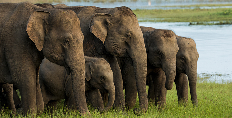 Deadlier than guns: Explosive bait haunts Sri Lanka's elephants