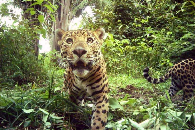 Huge wildlife corridor in Belize sees progress, boosting hope for jaguars and more (commentary)