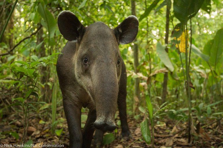 A Baird's tapir. Image by Nick Hawkins.