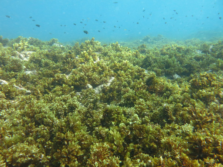 An algae-dominated reef in the Seychelles. Image by Nick Graham/Lancaster University.
