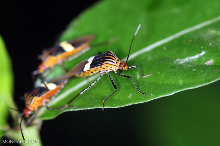Shield bugs in the Colombian Amazon. Photo by Rhett A. Butler/Mongabay.