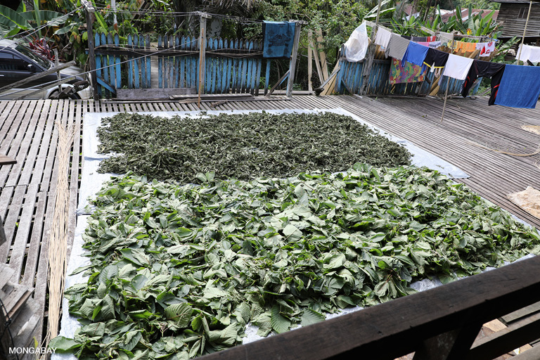 Drying kratom leaves. Kratom (Mitragyna speciosa), a member of the coffee family, has become a major export from the region due to booming demand for the plant, which has effects similar to both opioids and stimulants. Photo by Rhett A. Butler