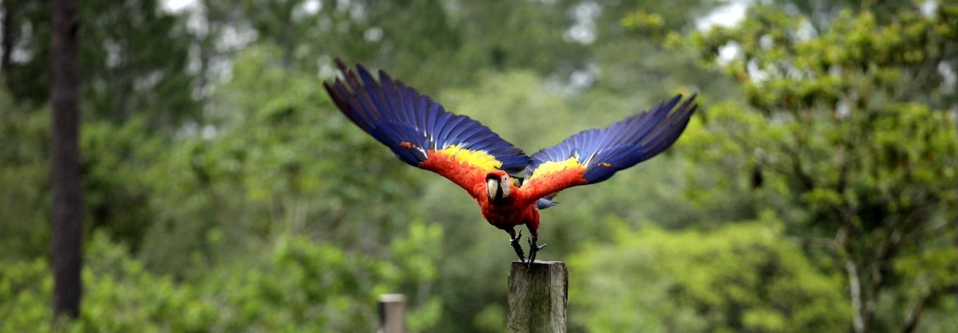 La Mosquitia Dangerous Territory For Scarlet Macaws In Honduras